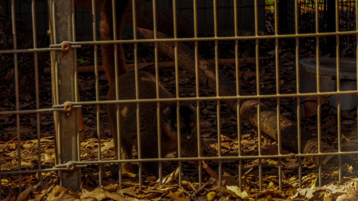 Baby – Brown Lemur