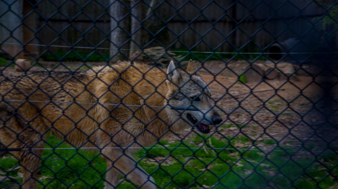 Grace – Wolf Dog Hybrid