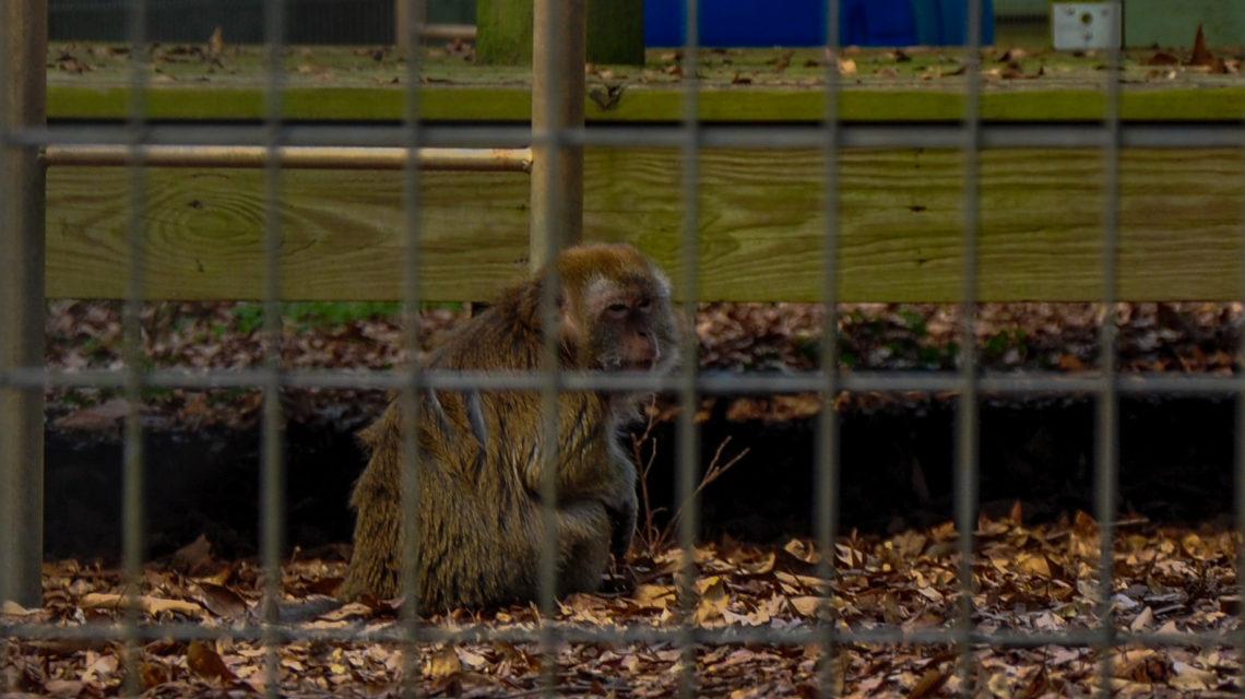 Gonga – Java Macaque